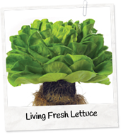 living-lettuce-p